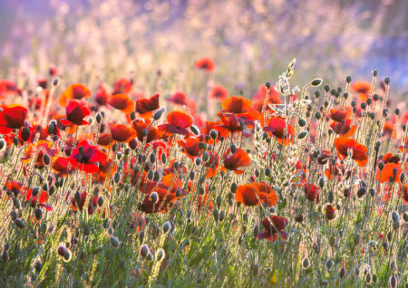 Poppies by Nigel Burkitt