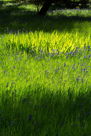 Bluebells and Shade by Michael Collins