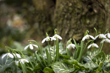 Snowdrops in Focus