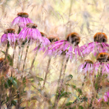 <em>Echinacea</em> by Nigel Burkitt