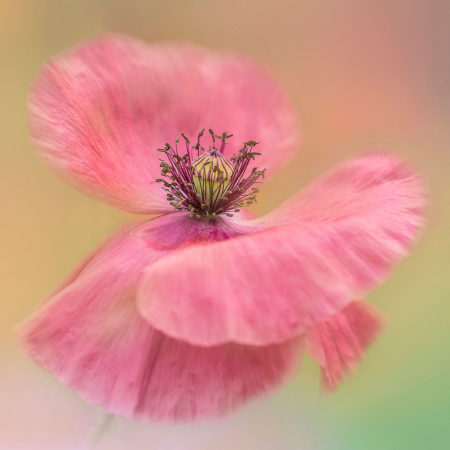 Poppy in Pink by Jane Dibnah
