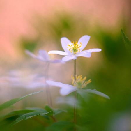 <em>Anemone nemerosa   </em> by Sarah-fiona Helme