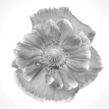 Home-Grown Poppy by Lotte Gronkjar