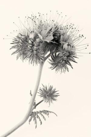<em>Phacelia tanacetifolia</em> by Jacky Parker