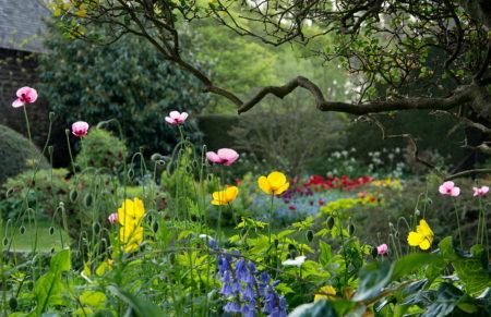 Backlit Poppies by Carol Casselden