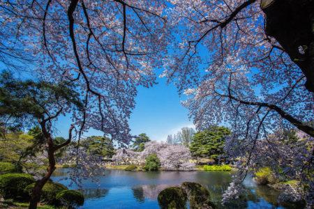 Cherry Blossom by Artem Lalin