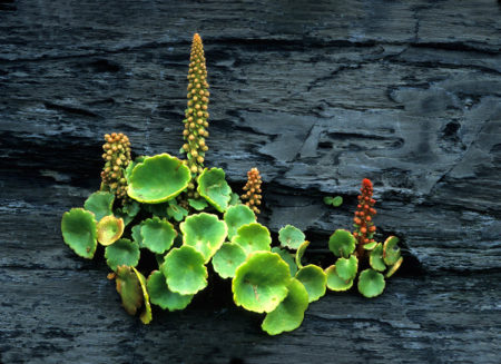 Wall Pennywort by Gillian Jones