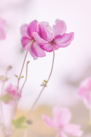 Pink Anemones by Raymond Jones
