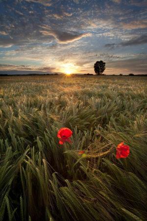 Poppies on Wheat II by Mark Boyd
