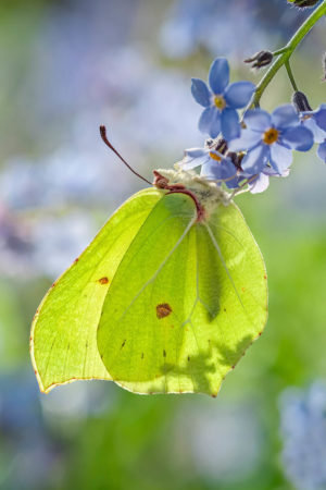 Brimstone Butterfly by Geoff du Feu