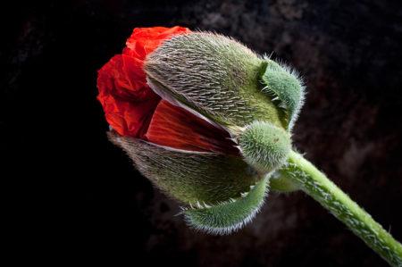 Giant Poppy by Stuart Hall