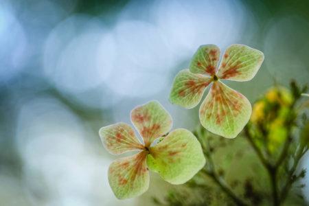 <i>Hydrangea</i> by Yang Yu Wei