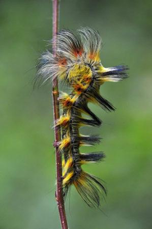 Mohican Caterpillar by Minghui Yuan