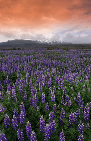 Icelandic Lupins by Andrea Heribanova