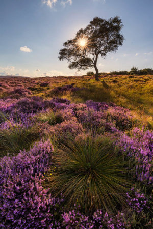 Lawrence Field in Bloom by Francis Taylor