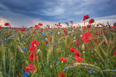 Summer Fields by Anne Maenurm