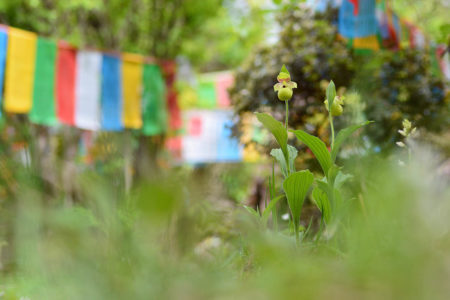 Orchid Under the Prayer Flags by Yang Niu