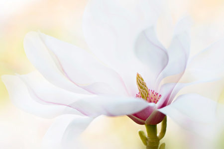 Spring <i>Magnolia</i> by Jacky Parker