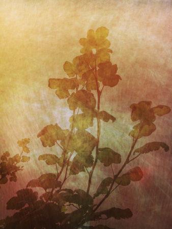 Red-Flowering Currant by Kerstin Schelberg