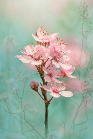 Black Cherry Plum Blossom by Jacky Parker