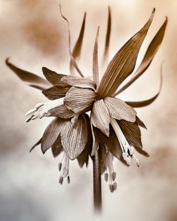 Imperial Fritillary by Sarah-fiona Helme