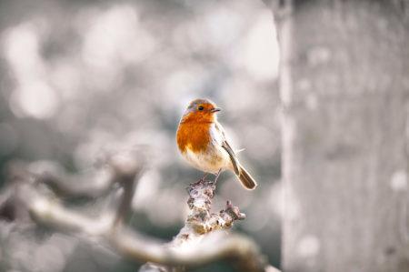 Robin by Roop Khural
