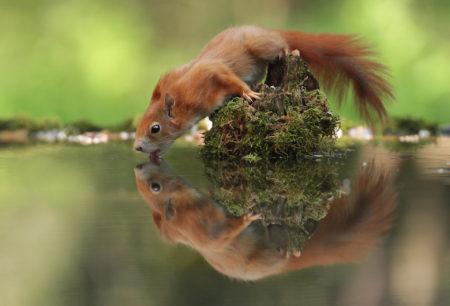 Thirsty Squirrel by Julian Rad