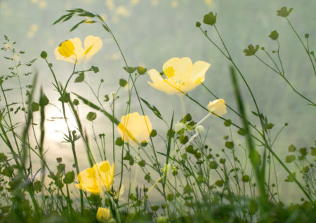 Bothering Buttercups by Angela de Groot