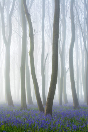 Bluebell Beech Mist by Stephen Davis