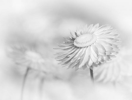 Everlasting Flowers by Margaret Sixsmith