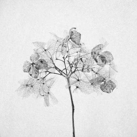Winter <em>Hydrangea</em> by Inna Karpova