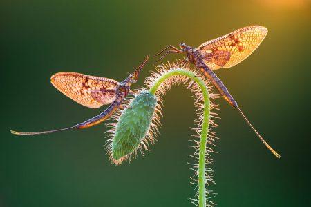 Mayflies by Petar Sabol