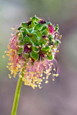 Salad Burnet Flower by Ian Gilmour