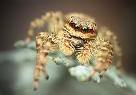 Jumping Spider by Richard Kubica