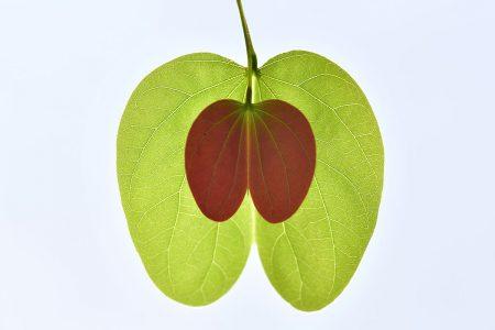 Green Apple by Zhang Lihua
