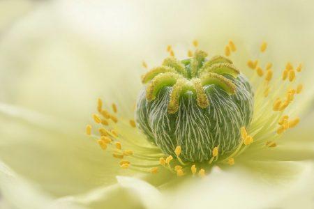 Poppy by Jane Dibnah