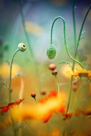 Poppy Field by Stephen Moore