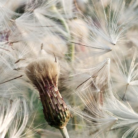 Common Thistle surrounded by Flying Pappus by Lotte Christina Andersen Pedersen