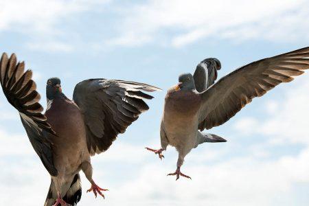 Pigeon Fight by Steve Nicholls