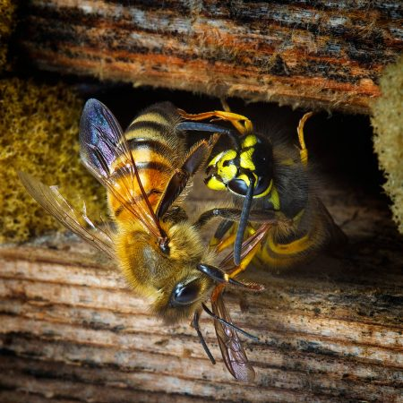 Honey Bee defending the Hive by Chris Robbins