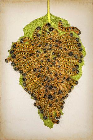 Buff Tip Moth Caterpillars by Jacky Parker