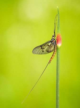 Wild Garlic and the Mayfly by Martha Cabey