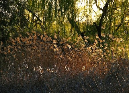 Bulrush and Weeping Willow Fantasy by Peter Battye