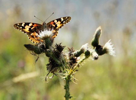 Painted Lady by Mairi Eyres