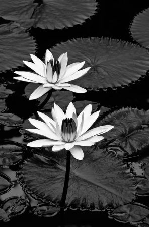 Nymphaea by John Glover