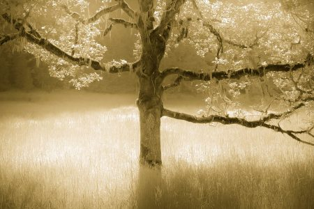 Oak in Sunlight by William Britton