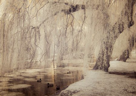 White Willows by Clare Forbes