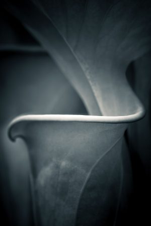 Sarracenia flava by Stephen Studd