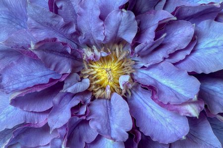 Clematis 'Vyvyan Pennell' by Jacky Parker