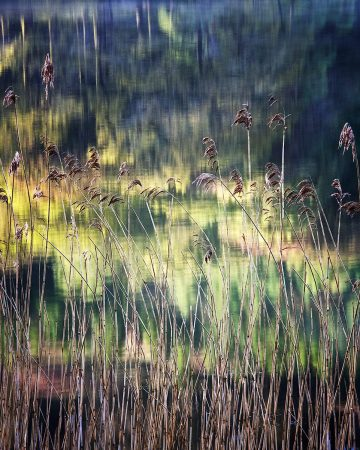 Rydal Reeds by Peter Hyde